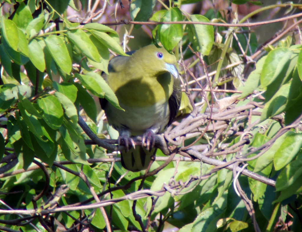 wbgreenpigeon_may22_RS_