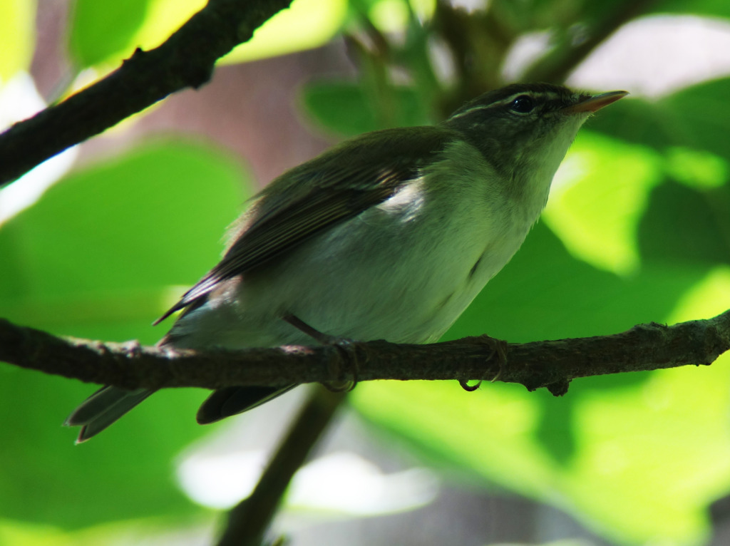 kamchatkaLeafWarbler_RS2_June3
