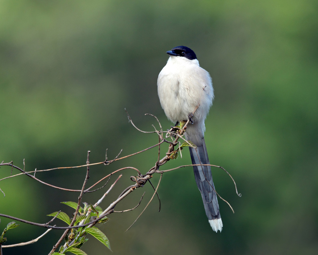smaller azure winged magpie AP9F8939