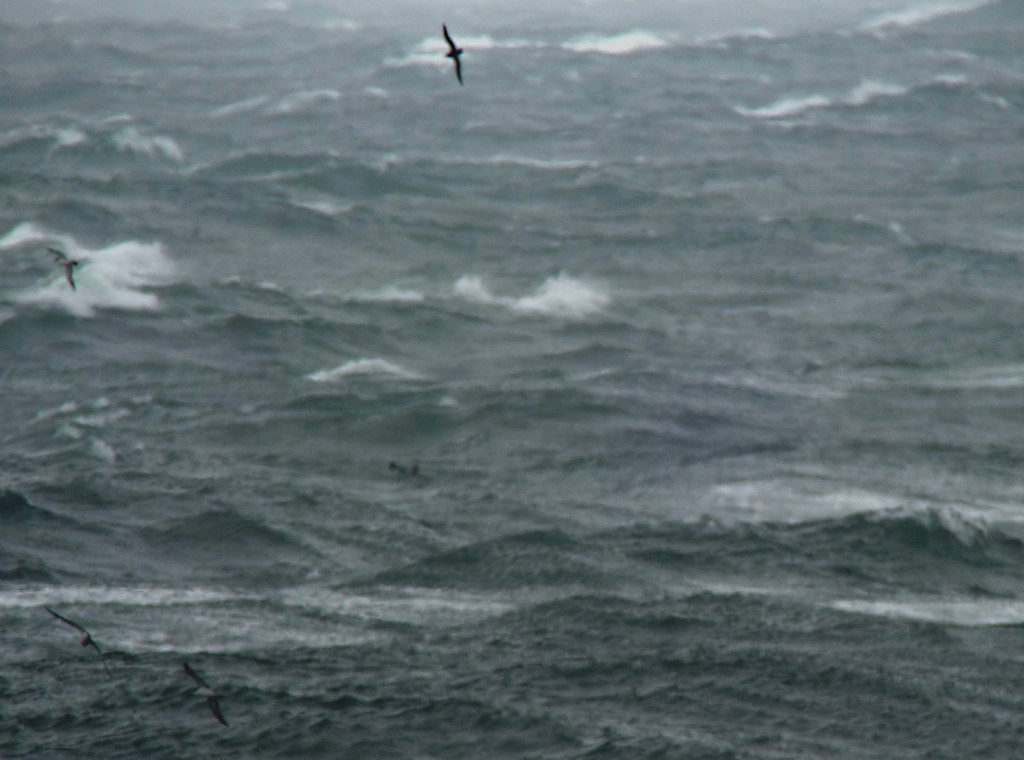 July17_largealldarkshearwater_RS2