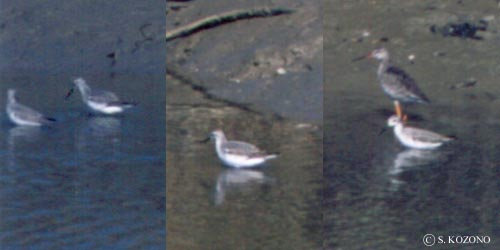 Willson_s_Phalarope19961922KOREA
