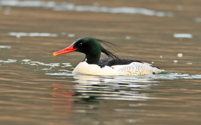 BirdsKorea_archive_Scaly-sided-Merganser