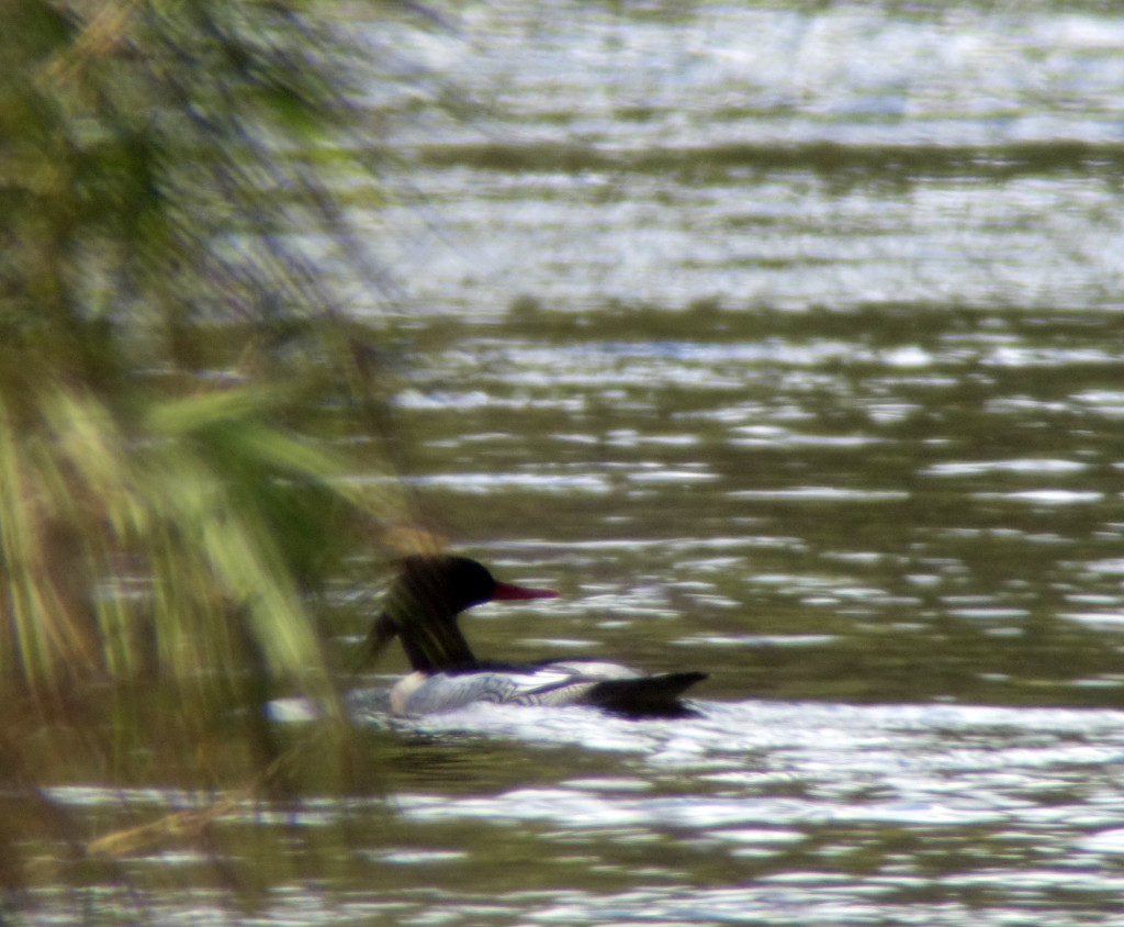 RS-merganser-poor-russia sep 2015 247