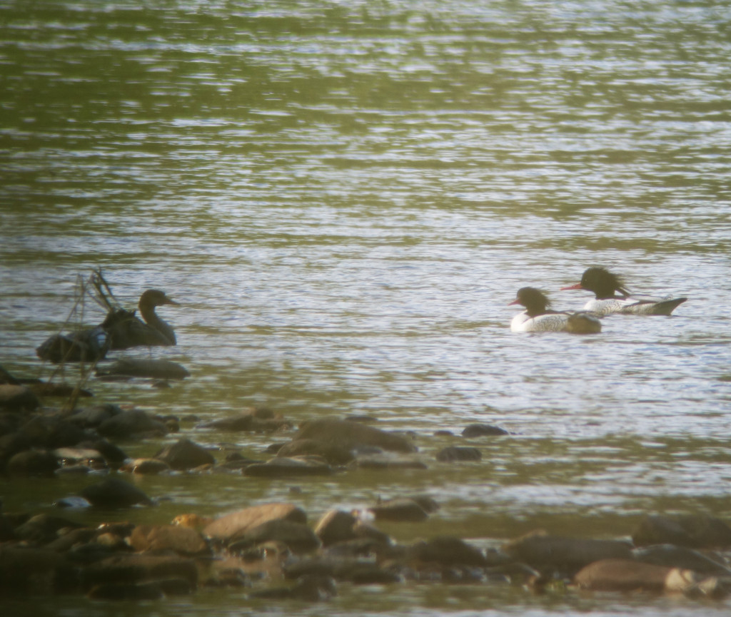 RS-mergansers_russia sep 2015 234