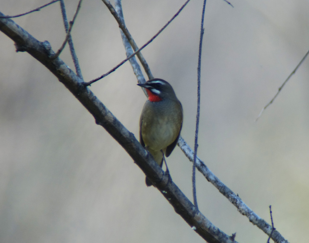 RS-rubythroat_russia sep 2015 342