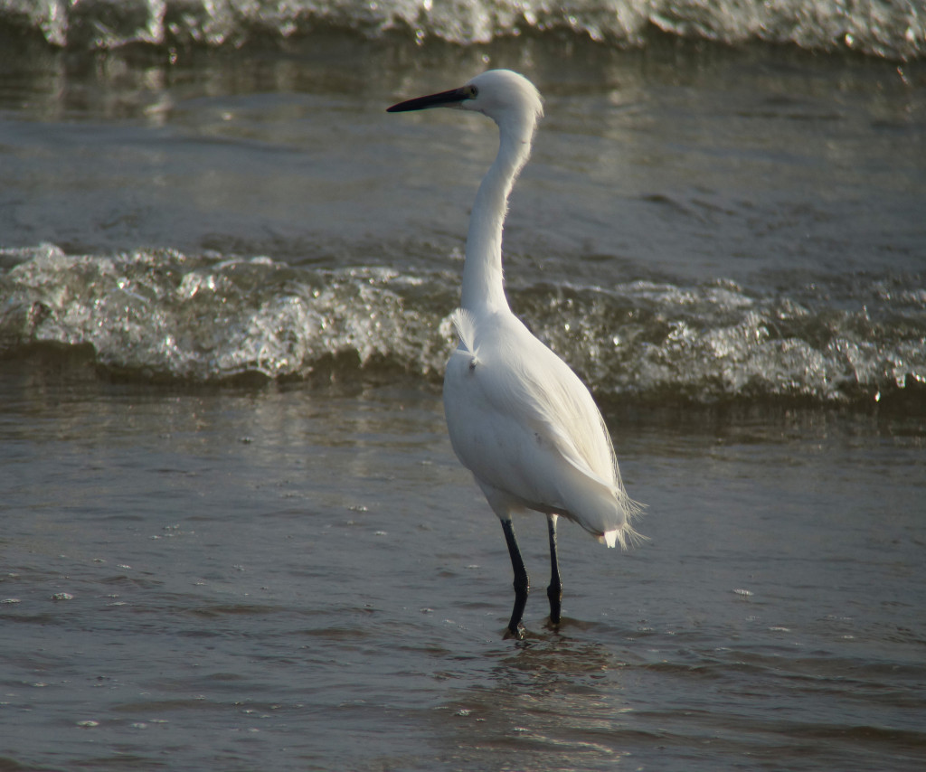 Little egret_guryongpo_nov15b_RS_NM