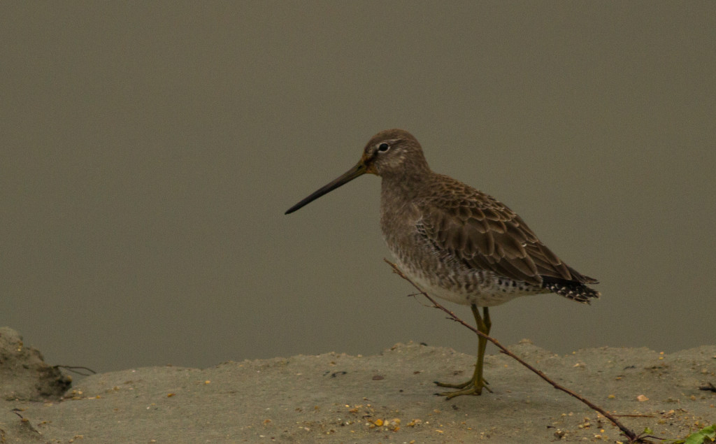 LongBilledDowitcher_02_SC (1 of 1)