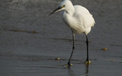 little egret_Guryongpo_Nov15c_RS_NM