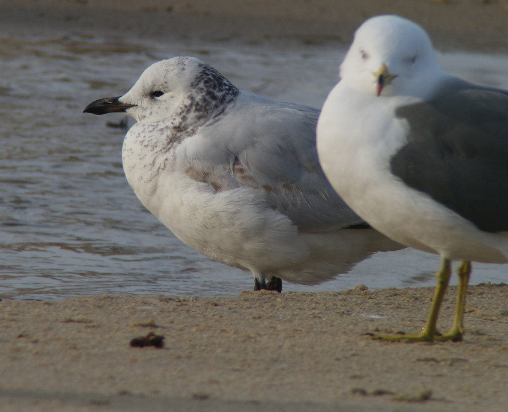 RS-nm-RelictGull00436