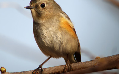 rs-red-flankedbluetail-apr18-NM