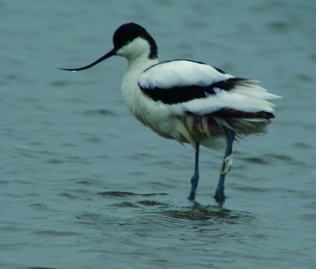 2rs-avocet