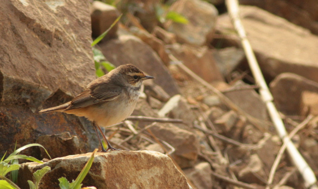 Bluthroat Luscinia svecica