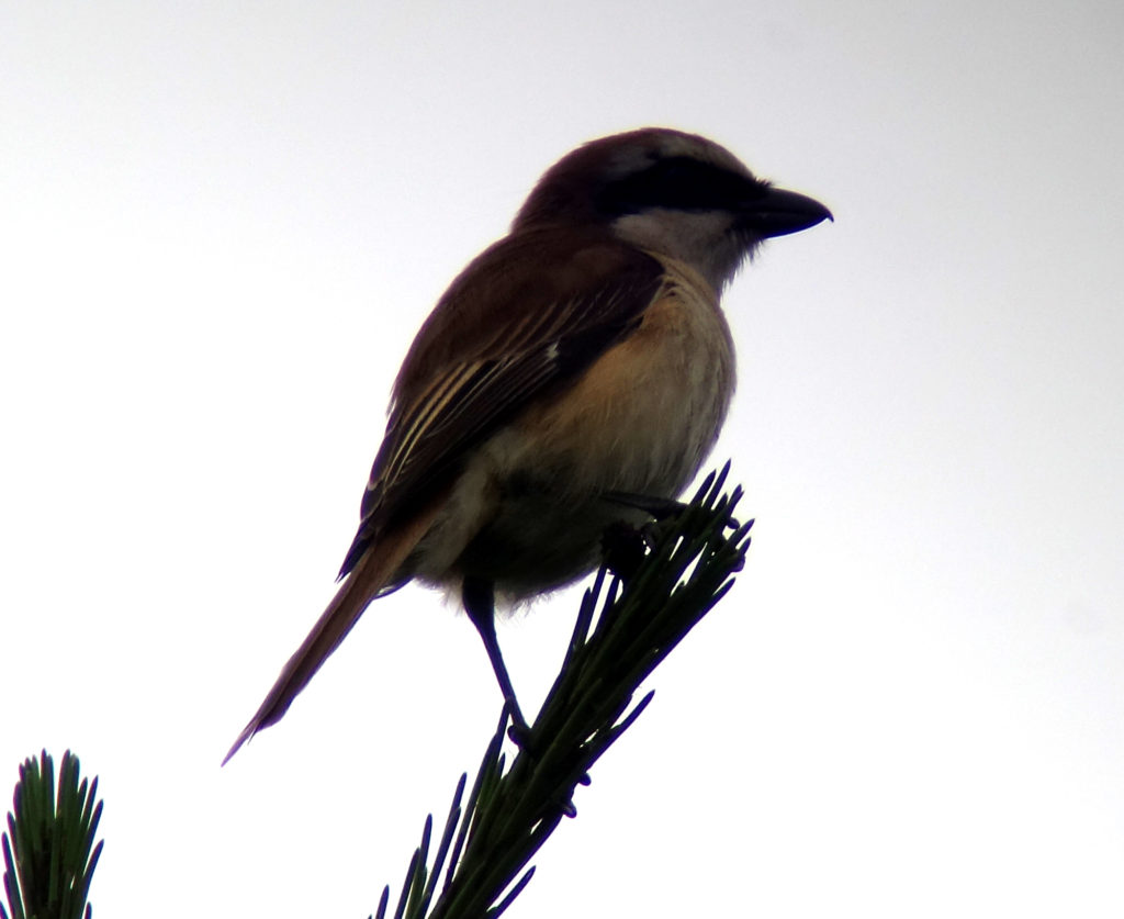 rs-brownshrike-nmDSC06521