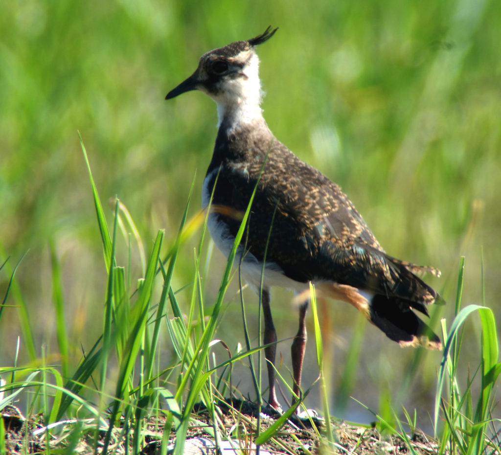rs-northernlapwing-NmDSC06186