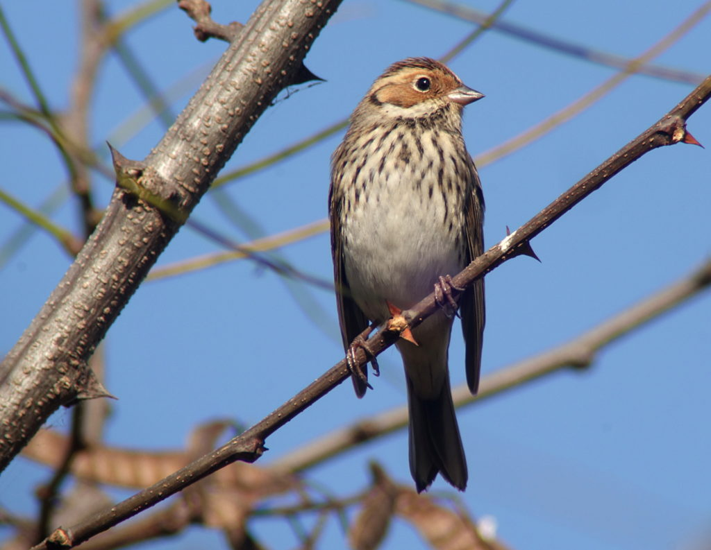 rs-littlebunting_08569