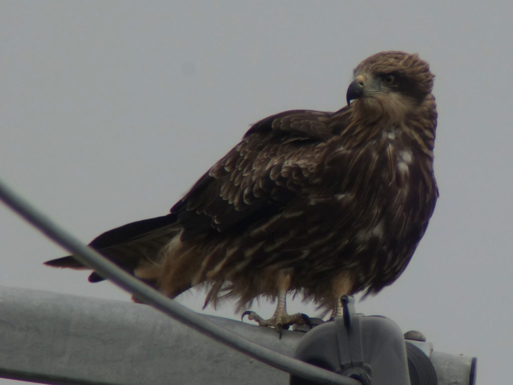 rs-blackkite-dsc08753