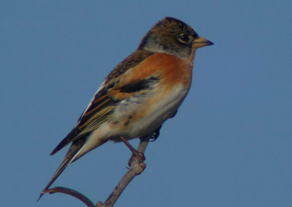 rs-brambling-sc09582