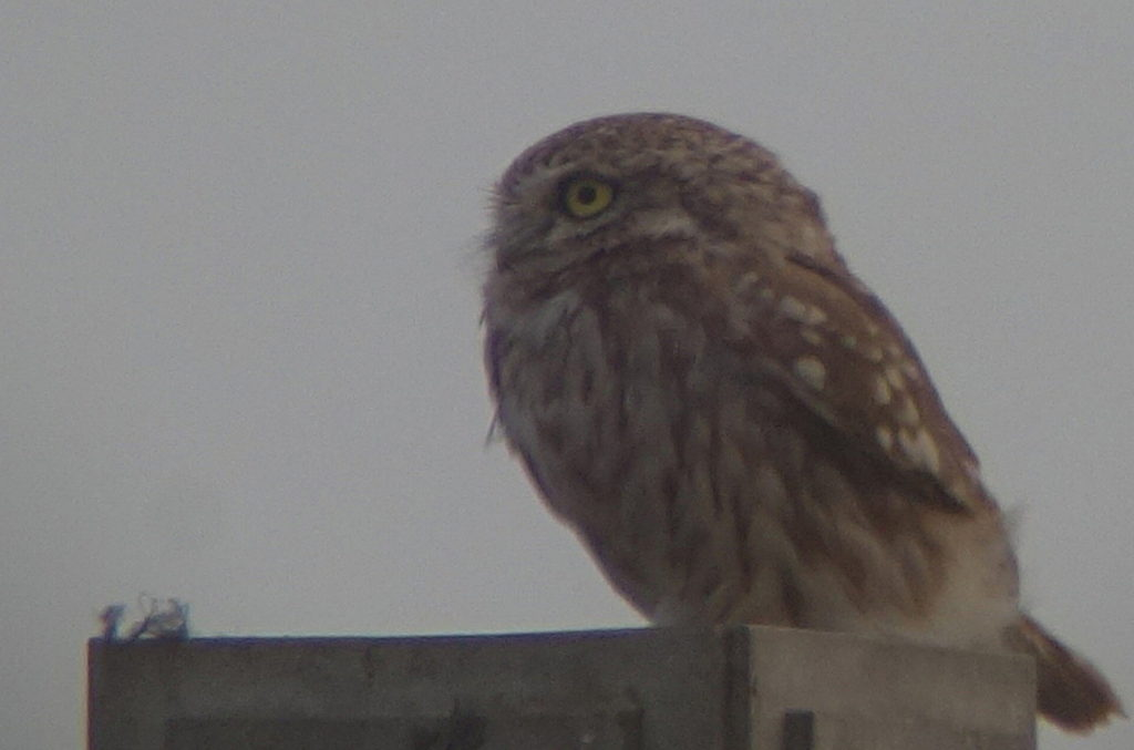 rs-littleowl-08156