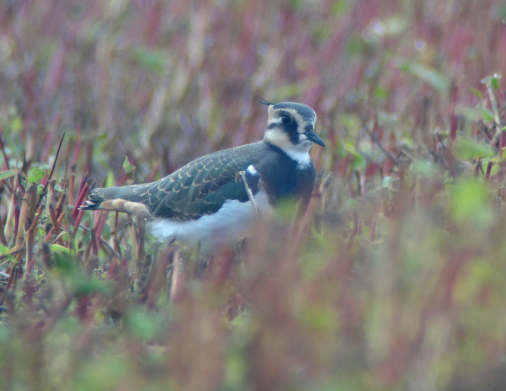 rs-northernlapwing-dsc09521