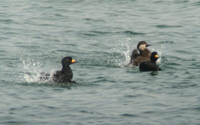 rs-americanscoters_1213