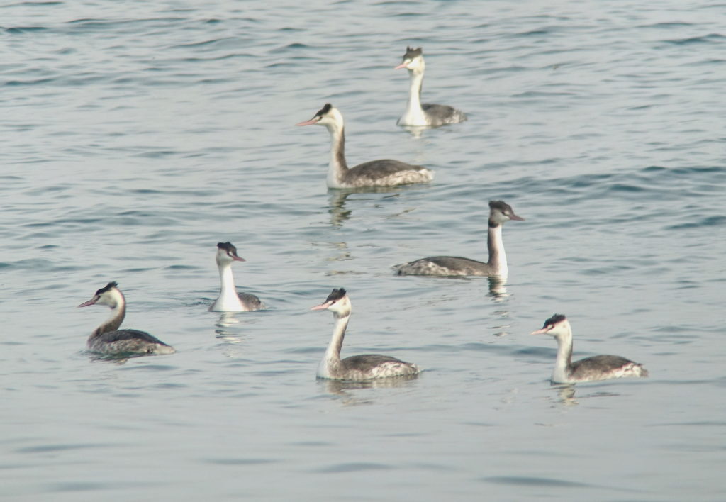 rs-greatcrestedgrebe-1124