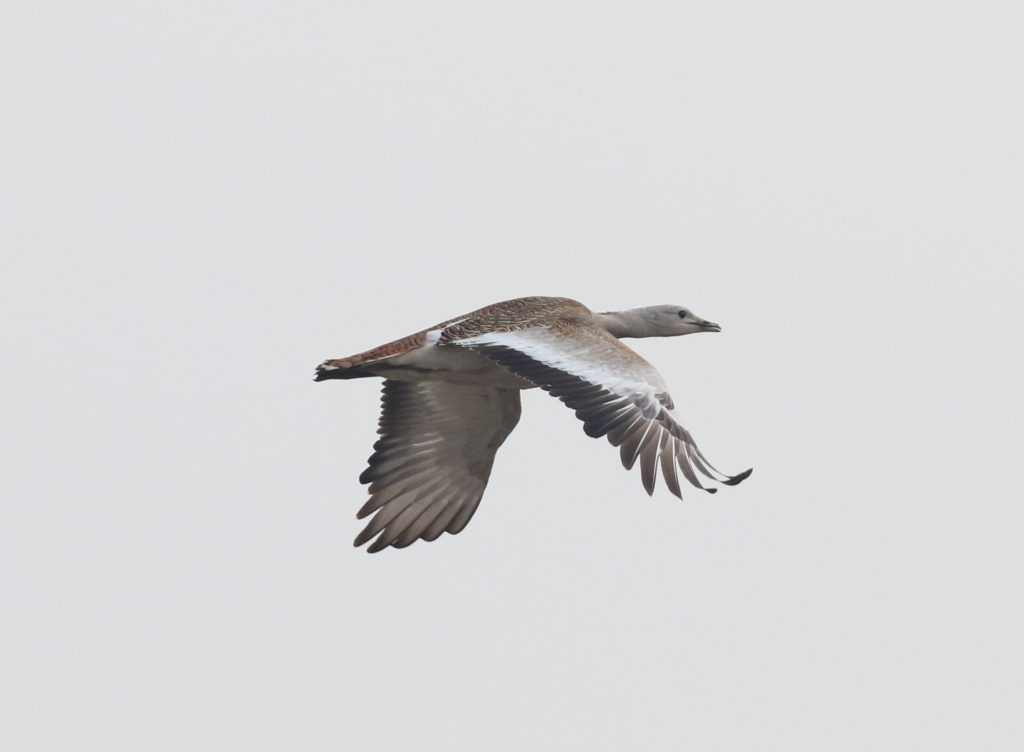 rs-great-bustard-ray-yang-3