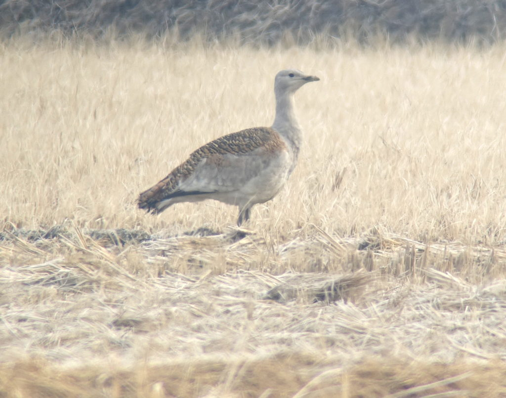 rs-greatbustard5439