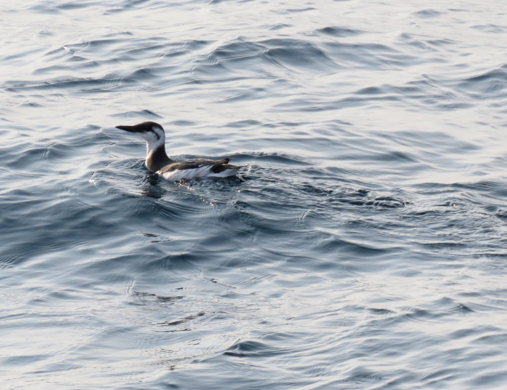 rs_common murre5841