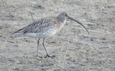 5 - Curlew