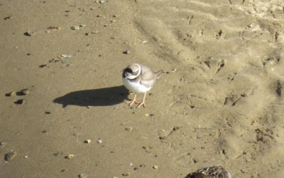 5 - Long-billed plover