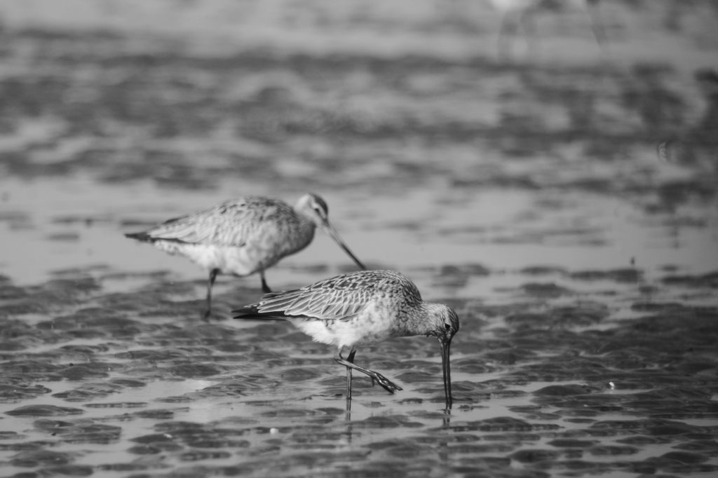 YLJ2017_foraging Bar-tailed Godwits-JL