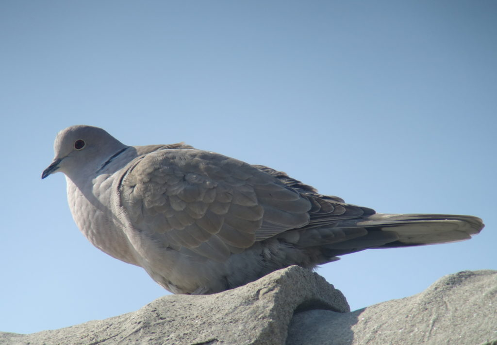 rs-collareddove-DSC00757