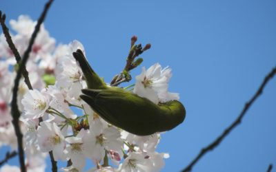 4 - Japanese White eye