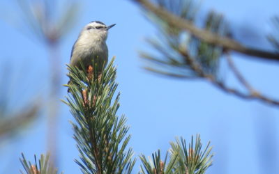 RS-chinese nuthatch-BS