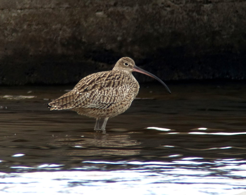 rs-fareasterncurlew-NM