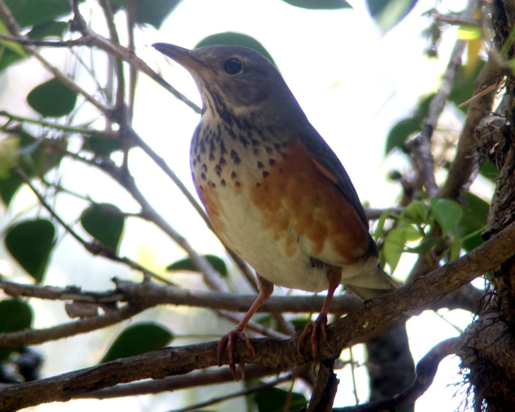 rs-femgreybackedthrush-DSC01130
