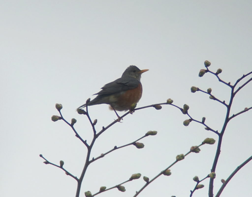 rs-greybackedthrush_NM