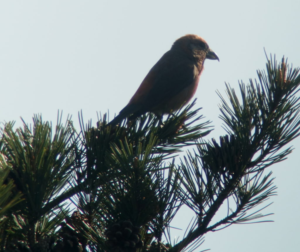 rs-redcrossbill-NM