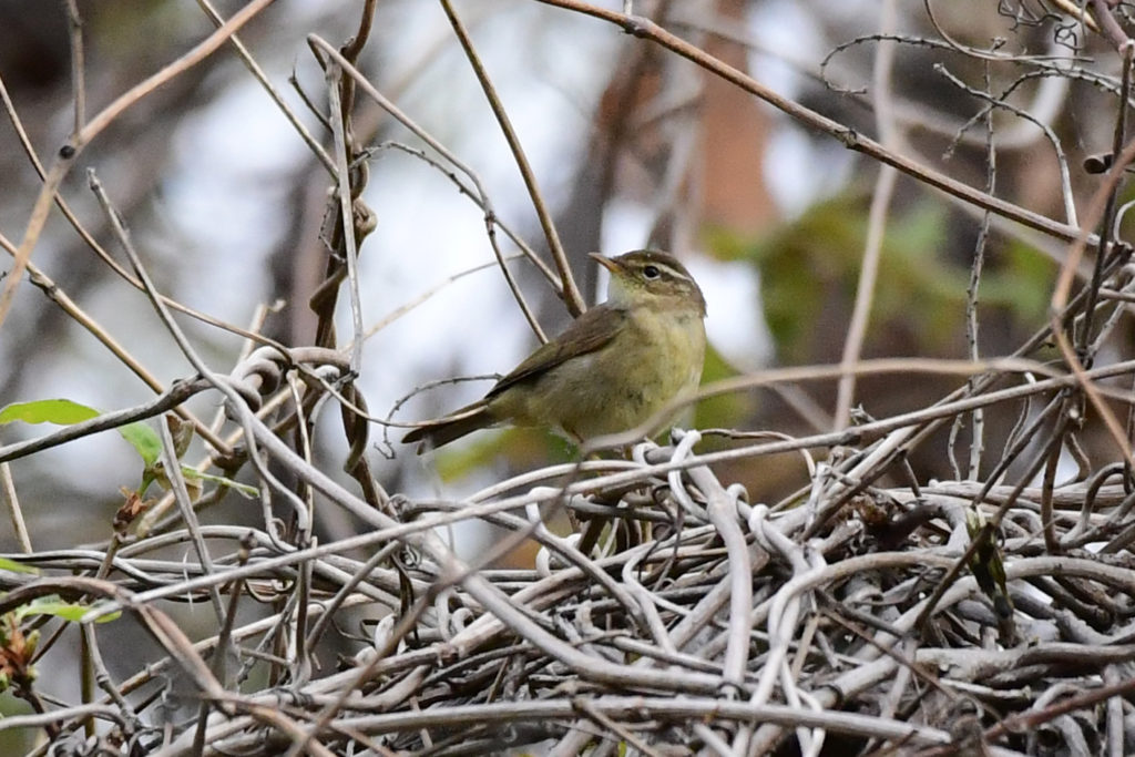 Yellowstreakedwarbler-SKS_1855s