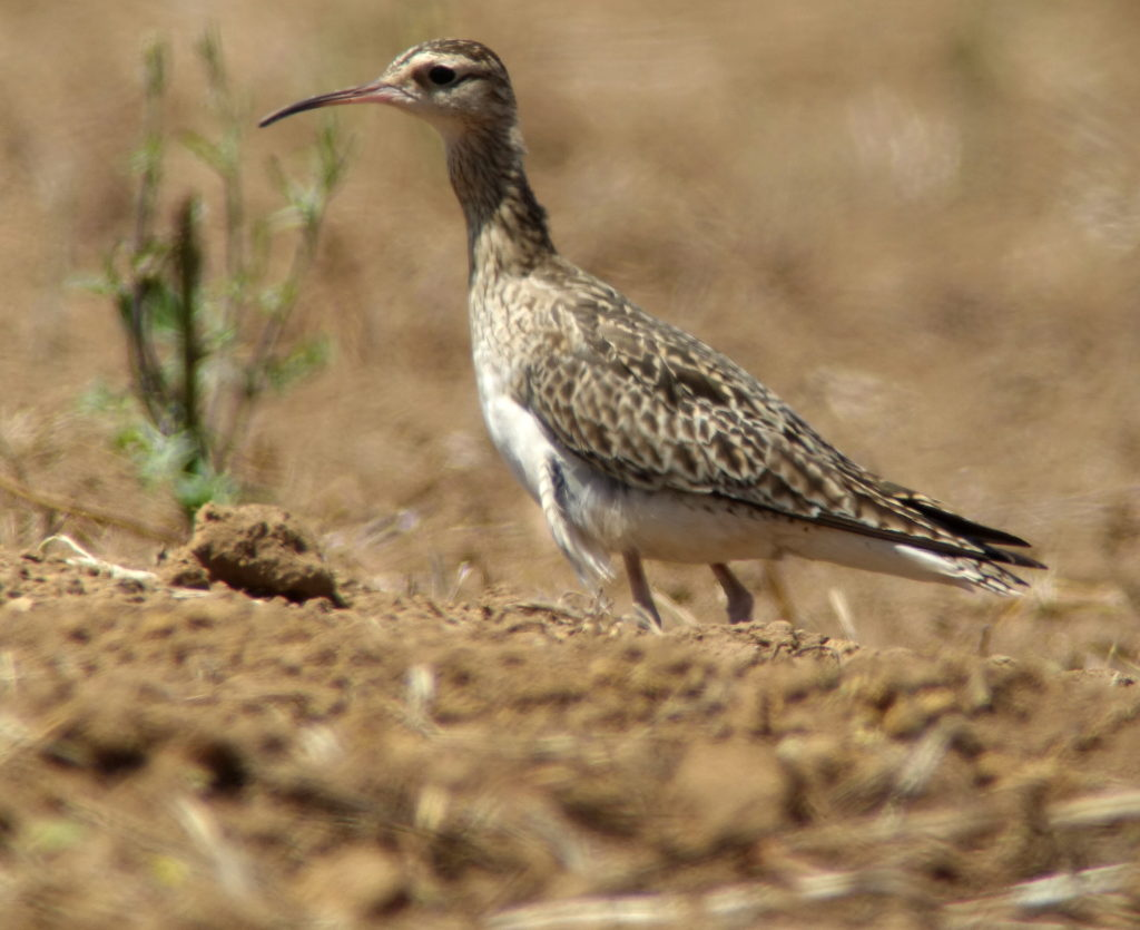 rs-littlewhimbrelhomepageDSC04316