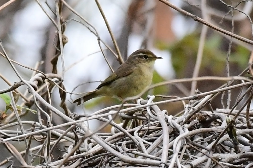 yellowstreakedwarbler-SKS_2DSC_1860-1