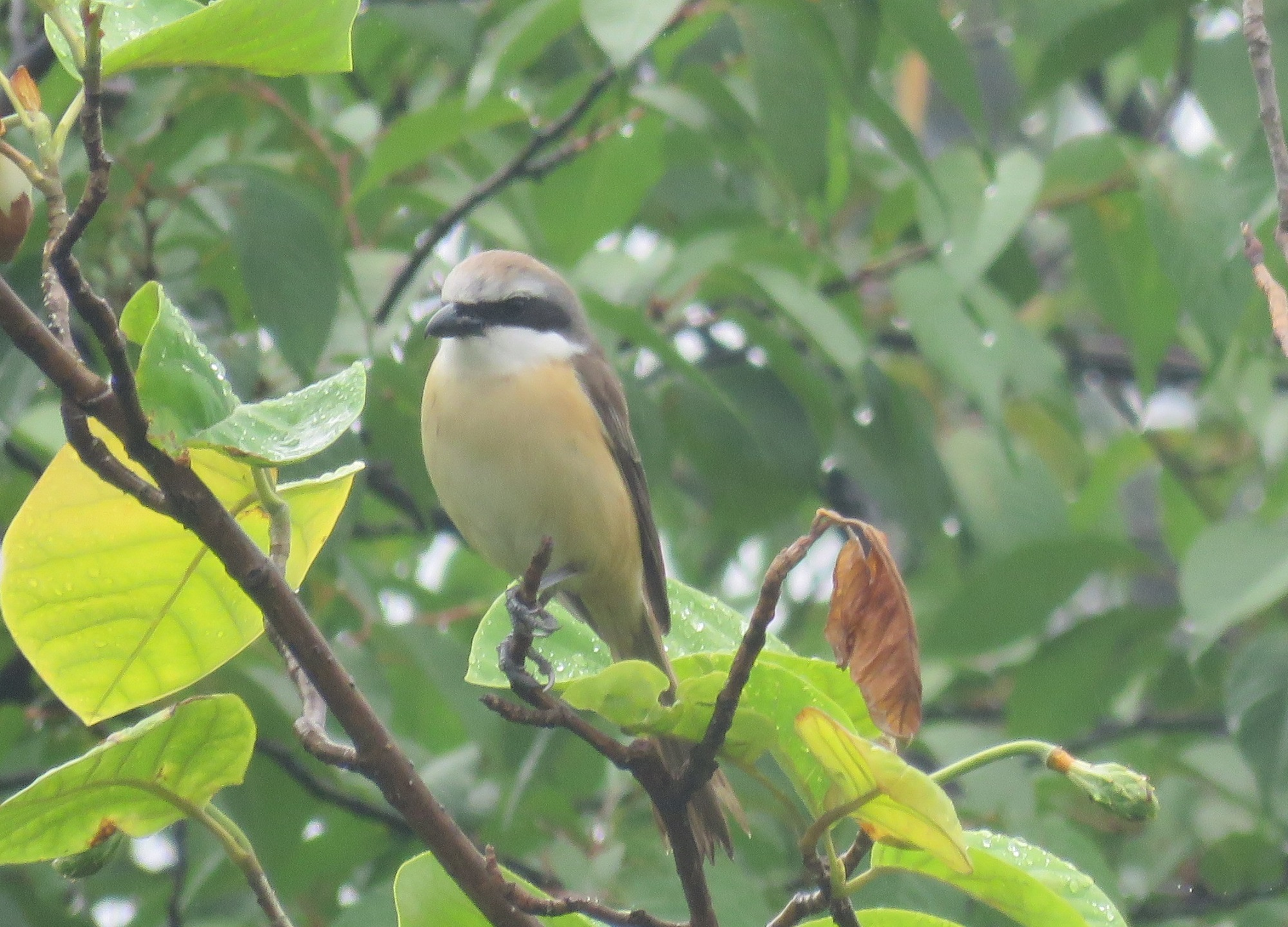 Picture 1 - Brown Shrike