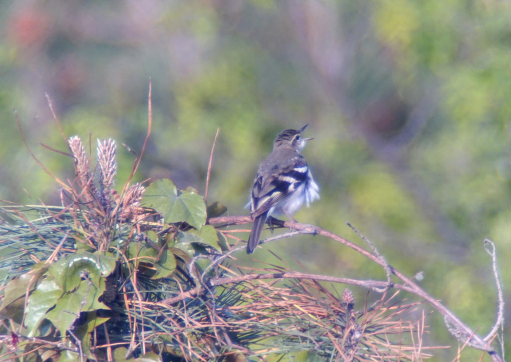 rs-singingforestwagtail-