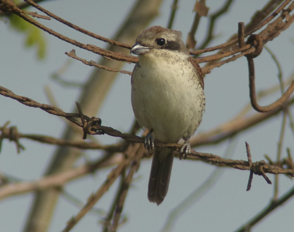 rs-tigershrike1-DSC05451