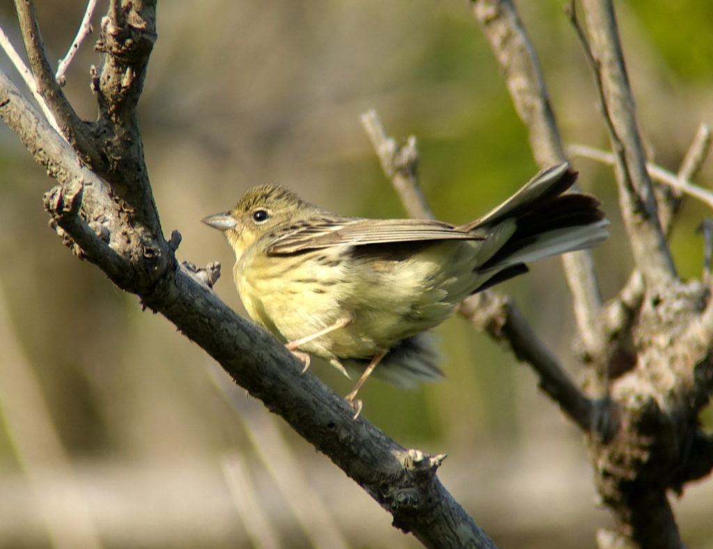 rs-yellowbunting-DSC06161
