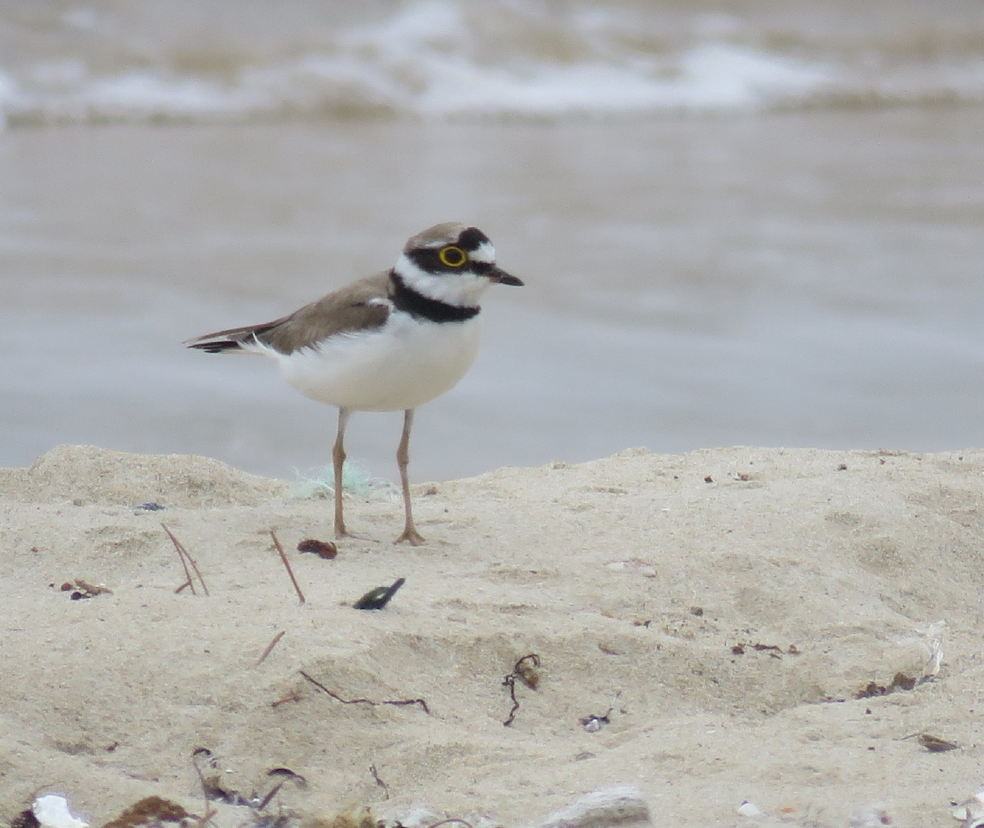 10 - Little Ringed Plover