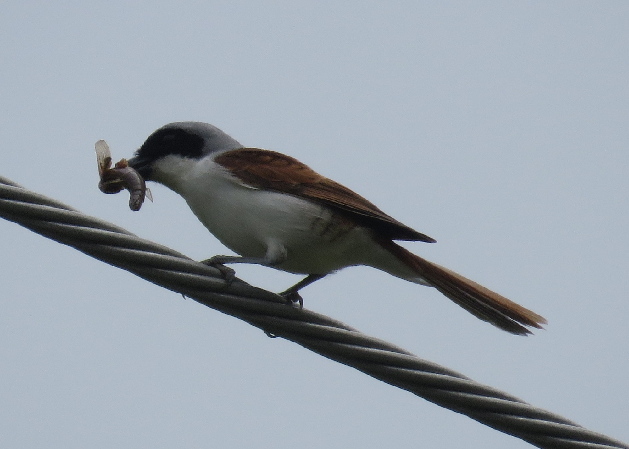 7 - Tiger Shrike