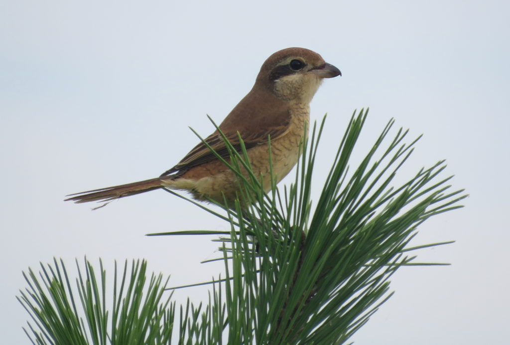 rs-brownshrike-bs-IMG_6768