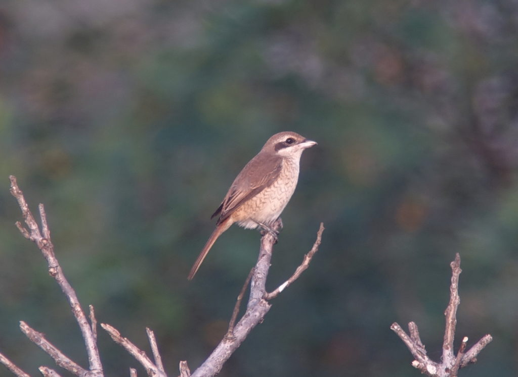 rs-brownshrike-nm-aug-baek67