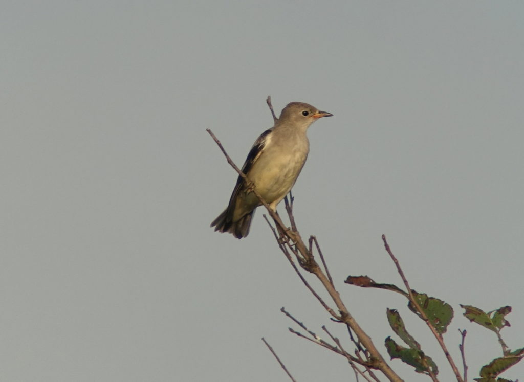 rs-daurianstarling-nm-baek-aug-17-36